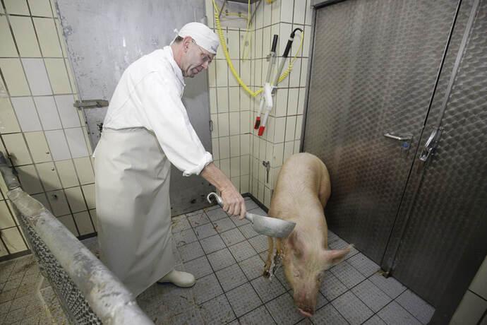 Schweine Schlachten Früher Video