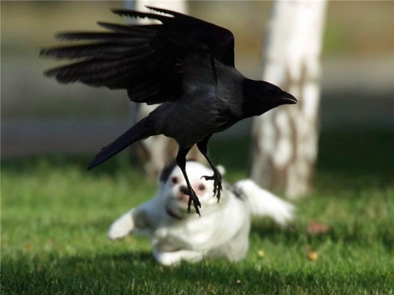 Aggressive Vögel